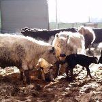 just born!  white heifer, black bull calf